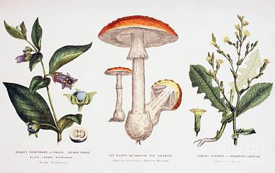 Toadstools Painting - Common Poisonous Plants by English School
