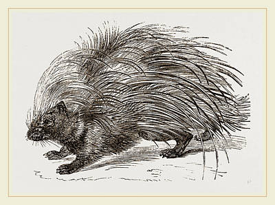 porcupine drawing common porcupine by litz collection