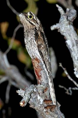 Common Potoo In A Tree At Night Art Print