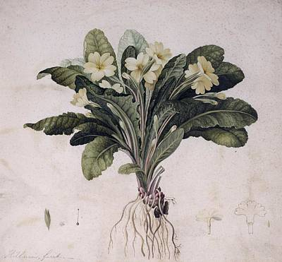 Common Primrose, Historical Artwork Print by Science Photo Library