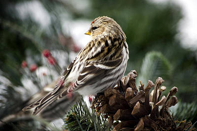 Rollos Photograph - Common Redpoll by Christina Rollo