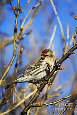 Photograph - Common Redpoll Female by Alyce Taylor
