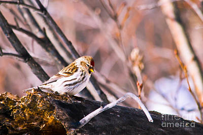 Common Redpoll Female Art Print by Chris Heitstuman