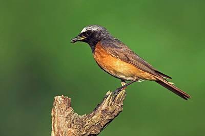 Redstart Photograph - Common Redstart by Bildagentur-online/mcphoto-schaef