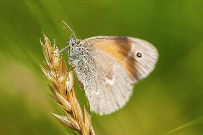 Common Ringlet Butterfly, Coenonympha Art Print