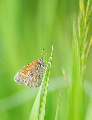 Photograph - Common Ringlet by Jim Zablotny