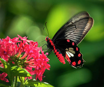 Photograph - Common Rose Butterfly Feeding On Pentas by Lasting Image By Pedro Lastra