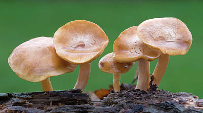 Fruiting Body Photograph - Common Rustgill (gymnopilus Penetrans) by Nigel Downer