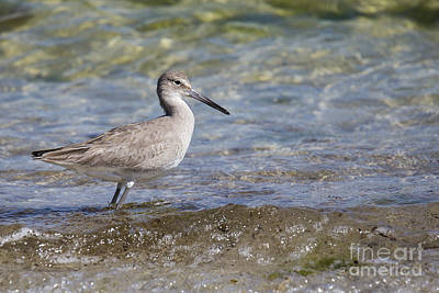 Sandpiper Wall Art - Photograph - Common Sandpiper by Twenty Two North Photography
