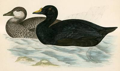 Duck Hunting Drawing - Common Scoter by Beverley R Morris