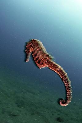 Hippocampus Photograph - Common Seahorse by Ethan Daniels