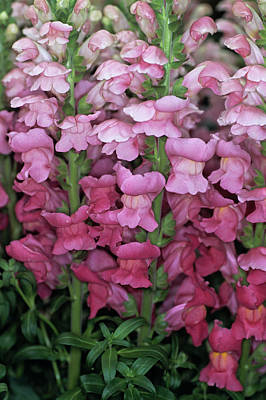 Antirrhinum Wall Art - Photograph - Common Snapdragon Flowers by Adrian Thomas/science Photo Library