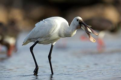 Spoonbill Wall Art - Photograph - Common Spoonbill (platalea Leucorodia) by Photostock-israel
