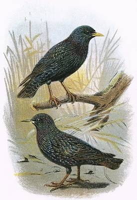 Starlings Photograph - Common Starling Top And Intermediate Starling Bottom by English School