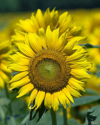 Photograph - Common Sunflower Dsmf207 by Gerry Gantt