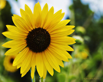 Photograph - Common Sunflower by Walter Herrit
