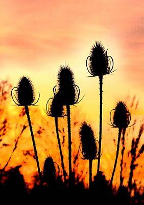Common Teasle Sunset Silhouettes Art Print