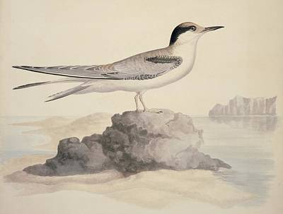 Common Tern Photograph - Common Tern, 19th Century Artwork by Science Photo Library