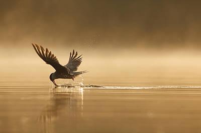 Tern Photograph - Common Tern Fishing Zuid-holland by Zenno Bloemendal