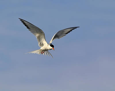 Common Tern Hovering Art Print by Tony Beck