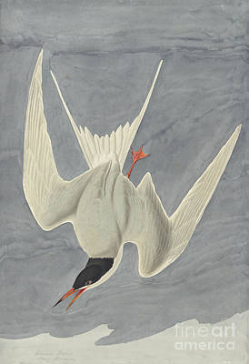 Common Tern Drawing - Common Tern by Celestial Images