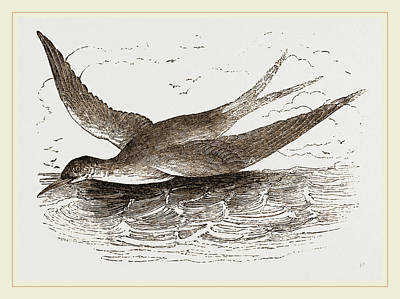 Common Tern Drawing - Common Tern by Litz Collection