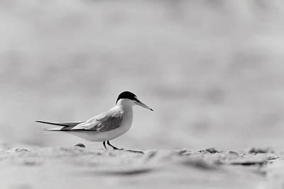 Common Tern Photograph - Common Tern On Sandy Beach by Stephanie McDowell