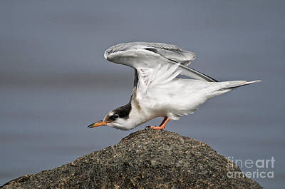 Valentines Day - Common Tern Pictures 67 by World Wildlife Photography