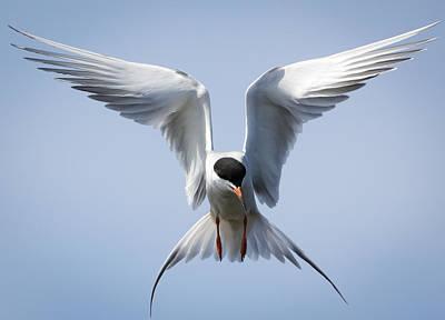 Common Tern Art Print by Ricky L Jones