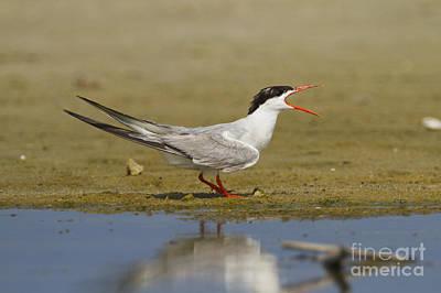 Common Tern Photograph - Common Tern Sterna Hirundo by Eyal Bartov