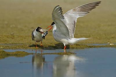 Common Tern (sterna Hirundo) Print by Photostock-israel