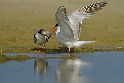 Animal Behavior Photograph - Common Tern (sterna Hirundo) by Photostock-israel
