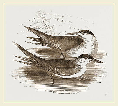 Common Tern Drawing - Common Terns by Litz Collection