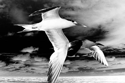 Photograph - Common Terns Mono by David Rich