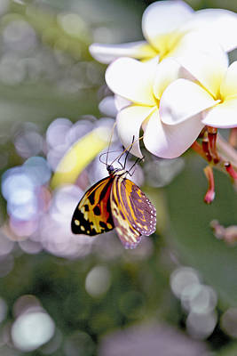 Common Tiger Glassywing Butterfly On Plumeria Bloom Art Print