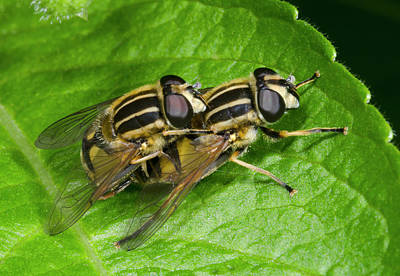 Copulation Photograph - Common Tiger Hoverflies Mating by Nigel Downer