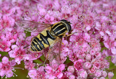 Hover Wall Art - Photograph - Common Tiger Hoverfly by Nigel Downer/science Photo Library
