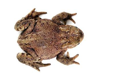 Toad Photograph - Common Toad by Alex Hyde