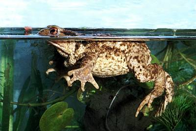 Common Toad Art Print by Brian Gadsby/science Photo Library