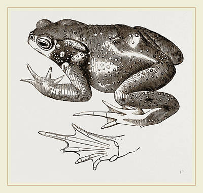 Toads Drawing - Common Toad by Litz Collection