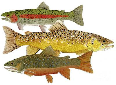 Trout Painting - Common Trout  Rainbow Brown And Brook by Thom Glace