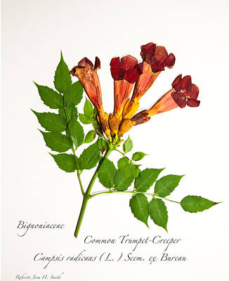 Common Trumpet-creeper 1 Art Print