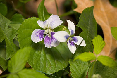 Photograph - Common Violet by Bernard Lynch
