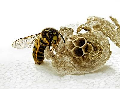 Wasp Nest Photograph - Common Wasp And Nest by Ian Gowland