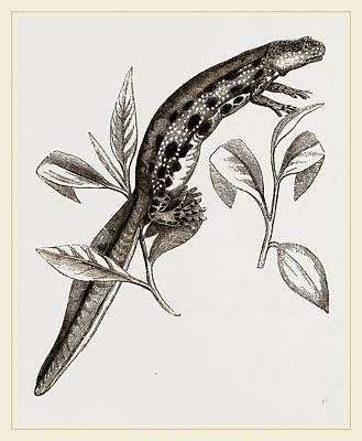 Newts Drawing - Common Water-newt Female by Litz Collection