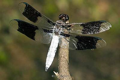 Photograph - Common White Tail Dragonfly by Larry Eicher