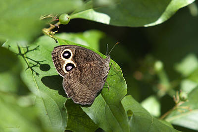 Photograph - Common Wood Nymph Butterfly by Christina Rollo