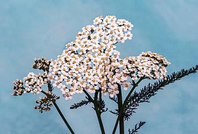 Yarrow Photograph - Common Yarrow (achillea Millefolium) by Brian Gadsby
