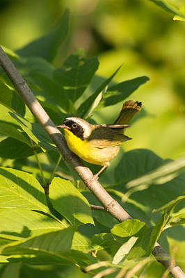 Common Yellowthroat Photograph - Common Yellow Throat  by Natural Focal Point Photography