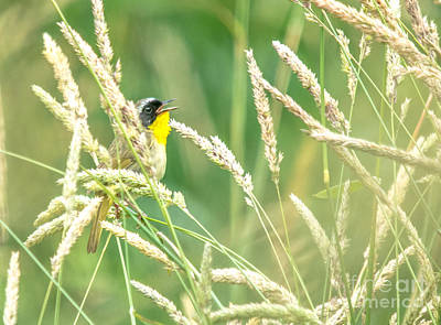 Photograph - Common Yellowthroat by Cheryl Baxter